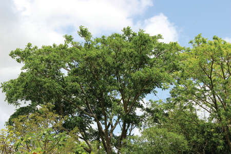 cedar tree: Cedar tree and other trees with the sky in the background Stock Photo