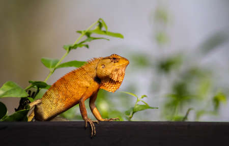 Big Typical Orange Lizard