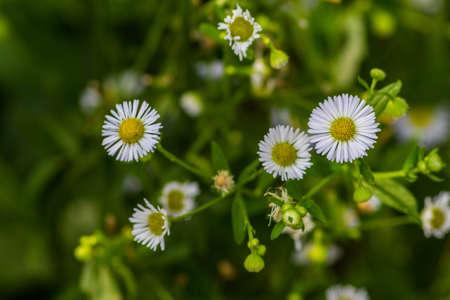 Gypso,gypsophila. White flowers Stock Photo