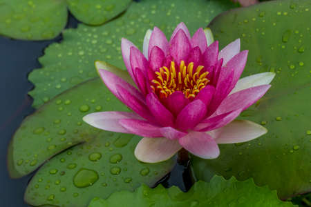 This beautiful waterlily or lotus flower is complimented by the rich colors of the deep blue water surface. Stock Photo