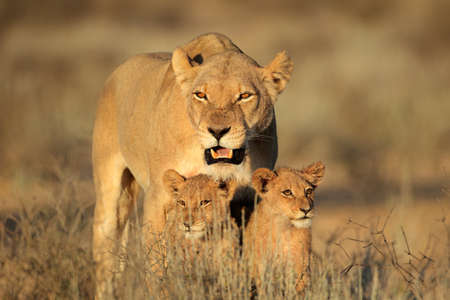 cub: Lioness with young lion cubs (Panthera leo) in early morning light, Kalahari desert, South Africa  Stock Photo