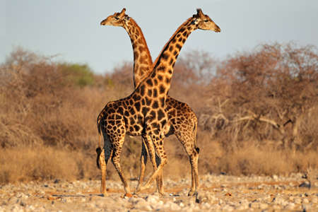 giraffa camelopardalis: Two giraffe bulls (Giraffa camelopardalis), Etosha National Park, Namibia, southern Africa