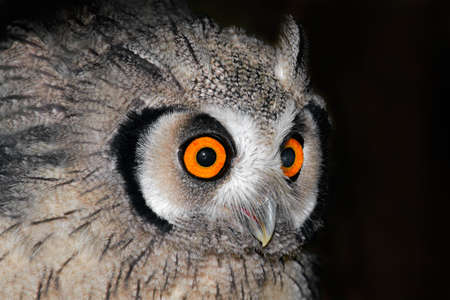 south african birds: Close-up portrait of a white-faced owl (Otis leucotis) with large orange eyes, South Africa