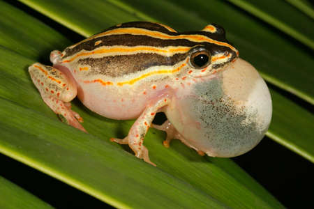 Male painted reed frog calling during the night Stock Photo