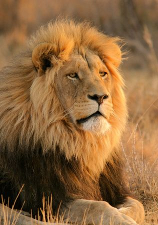 Portrait of a big male lion, South Africa