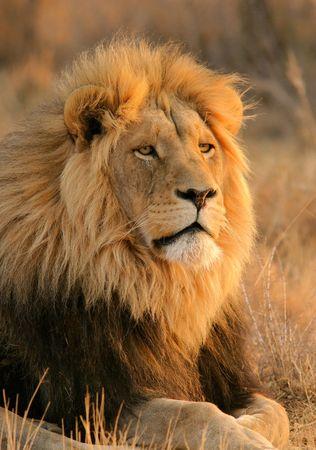 Retrato de un gran león macho, Sudáfrica