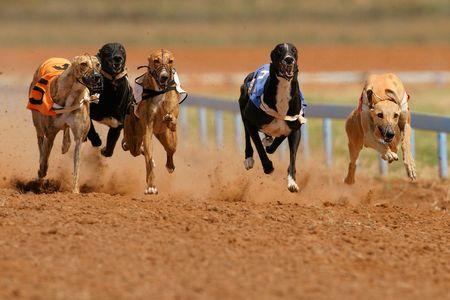 Greyhounds a velocità completa durante la corsa Archivio Fotografico