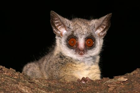 Portrait of the nocturnal Lesser Bush, South Africa