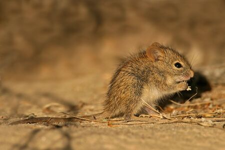 A young striped mouse eating