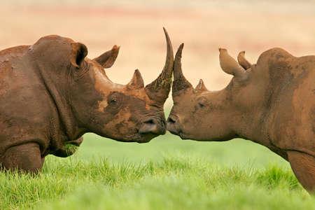 Portrait de deux White (carrés à lèvres) rhinocéros, l'Afrique du Sud