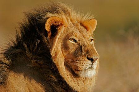 Portret van een grote mannelijke Afrikaanse leeuw (Panthera leo), Kalahari, Zuid-Afrika