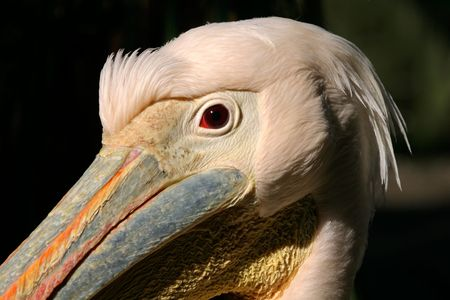 Portrait of a White pelican (Pelecanus onocrotalus), South Africa Stock Photo - 934748