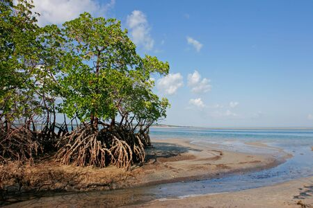 Mangrove tree at low tide, Vilanculos coastal sanctuary, Mozambique, southern Africa