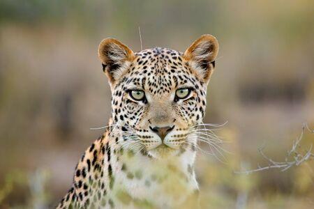 Ritratto di un leopardo (Panthera pardus), deserto Kalahari, Sud Africa