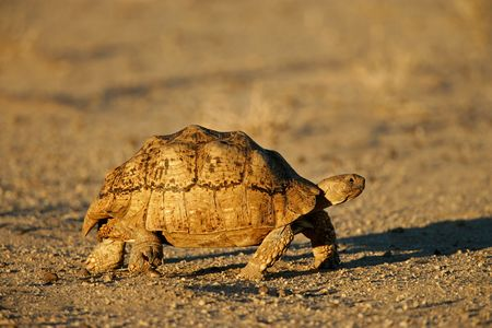 Mountain tortoise (Geochelone pardalis) , Kalahari desert, South Africa Stock Photo - 3474811