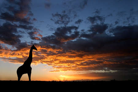 A giraffe silhouetted against a dramatic sunset with clouds, Kalahari desert, South Africa