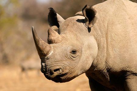 Portret van een zwart (verslaafd lippen) neushoorn (Diceros bicornis), Zuid-Afrika Stockfoto