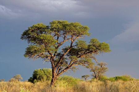 Afrikanischen Landschaft mit einem schönen Baum Acacia (Acacia erioloba), Kalahari, Südafrika