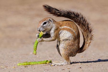 Nutrire la terra scoiattolo (Xerus inaurus), nel deserto del Kalahari, Sud Africa