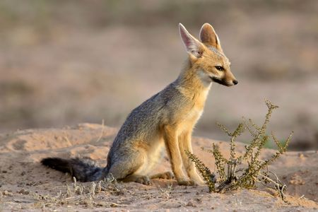 Cape fox (Vulpes chama) in de vroege ochtend licht, Kalahari-woestijn, Zuid-Afrika