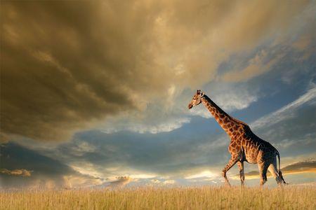 Una jirafa de caminar en las llanuras de África contra un cielo dramática