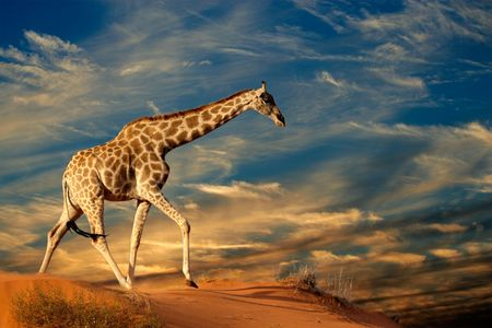 Jirafa (Giraffa camelopardalis), caminando sobre una duna de arena con las nubes, Sudáfrica
