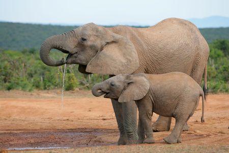 마시는 아프리카 코끼리 (Loxodonta africana), Addo 코끼리 국립 공원, 남아 프리 카 공화국