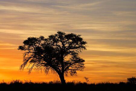 Sunset with silhouetted African Acacia tree, Kalahari desert, South Africa Stock Photo