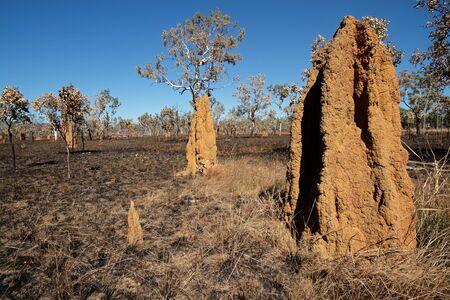 Massive cathedral termite mounds (Nasutitermes triodae), Kakadu National Park, Northern Territory, Australia