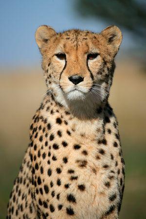 Portrait of a cheetah (Acinonyx jubatus) sitting upright, South Africa Stock Photo