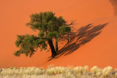 赤い砂丘、アフリカ アカシア木や砂漠の草、ソーサス フライ、ナミビア、アフリカ南部