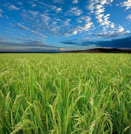 Rizière vert luxuriant avec un ciel bleu et les nuages Banque d'images - 7854161