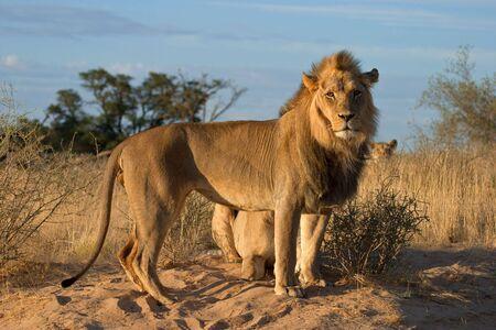 African lions (Panthera leo), Kalahari desert, South Africa Stock Photo