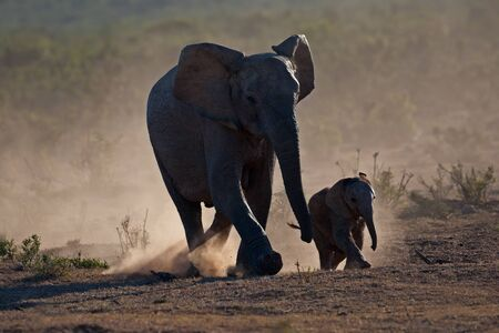 African elephant cow with calf (Loxodonta africana) silhouetted in dust, Addo Elephant park, South Africa Stock Photo