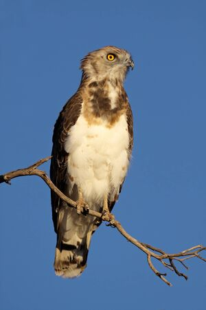Black-breasted snake eagle (Circaetus gallicus) perched on a branch, Kalahari, South Africa Stock Photo - 9416524