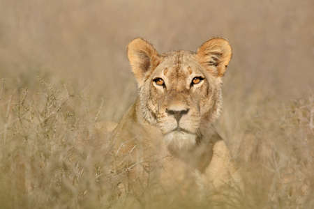 Portrait of a lioness (Panthera leo), South Africa photo