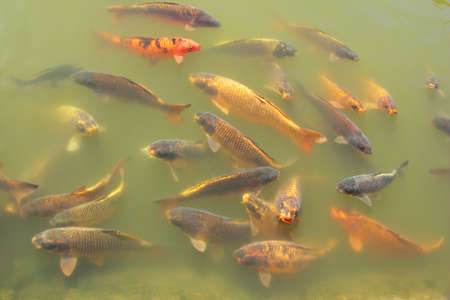 Colorful Koi fish in a pond Stock Photo - 9611024