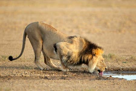 animales del desierto: Agua potable de Le�n africano macho grande (Panthera leo), Kalahari, Sud�frica  Foto de archivo