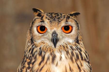 ベンガルのワシフクロウ (横痃横痃ベンガルショウノガン) のクローズ アップの肖像画 写真素材 - 9708772
