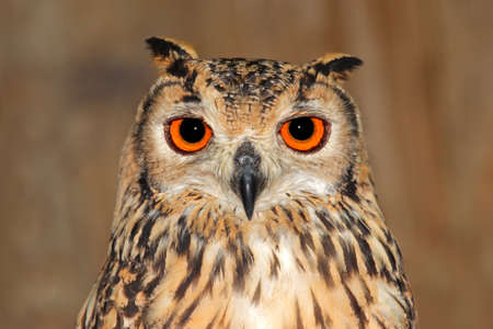 animais: Close-up portrait of a Bengal eagle owl (Bubo bubo bengalensis)