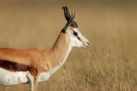 springbuck: A springbok antelope (Antidorcas marsupialis), South Africa
