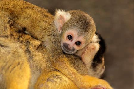 sciureus: Squirrel monkey (Saimiri sciureus) with small baby