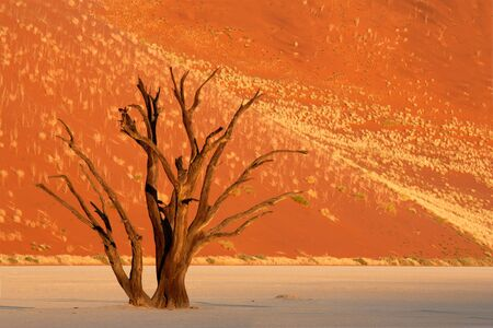 Dead Acacia tree against a red sand dune, Sossusvlei, Namibia, southern Africa