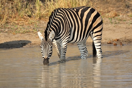 A Plains (Burchell's) Zebra (Equus quagga) drinking water, South Africa