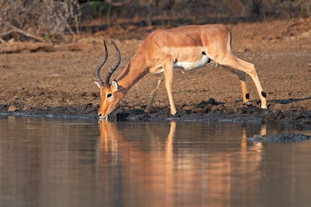 Male impala antelope (Aepyceros melampus) drinking water at a waterhole, Kruger National Park, South Africa photo