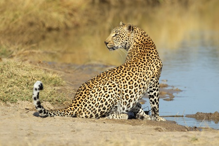 Male leopard (Panthera pardus) at a waterhole, Sabie-Sand nature reserve, South Africa  Stok Fotoğraf