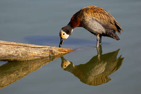south african birds: African white-faced duck (Dendrocygna viduata),South Africa