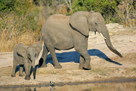 African elephant cow (Loxodonta africana) and her calf at a waterhole, South Africa