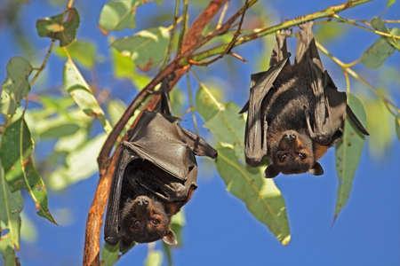 murcielago: Negros-zorras voladoras (Pteropus alecto) colgando en un territorio de árbol, el Parque Nacional Kakadu, del Norte, Australia