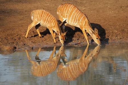 Two female Nyala antelopes (Tragelaphus angasii) drinking water, Mkuze game reserve, South Africa  photo